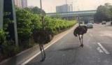 В Китае своя причина страусы устроили переполох на автостраде (видео)